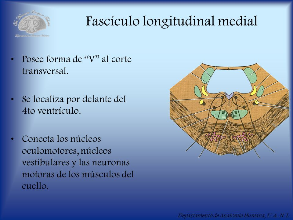 Fascículo longitudinal medial