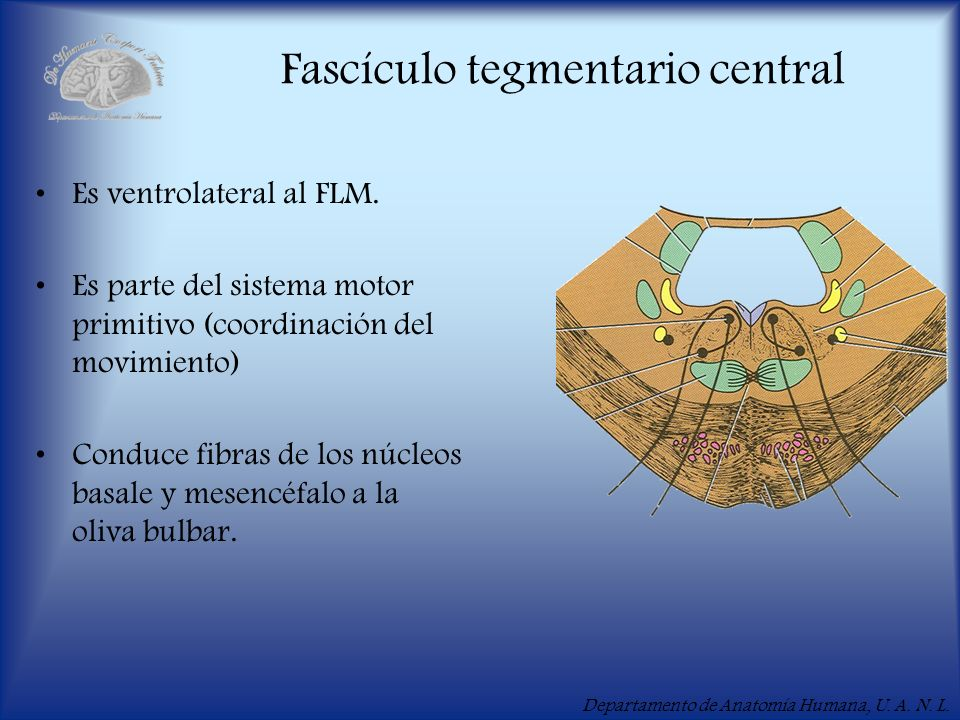 Fascículo tegmentario central