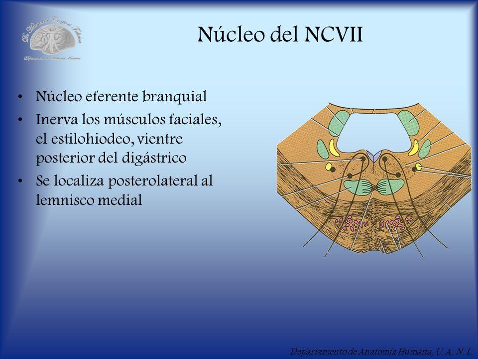 Núcleo del NCVII Núcleo eferente branquial