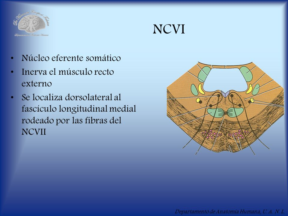 NCVI Núcleo eferente somático Inerva el músculo recto externo
