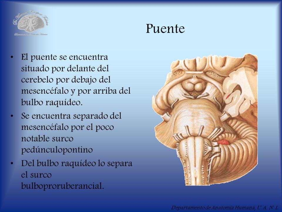 PuenteEl puente se encuentra situado por delante del cerebelo por debajo del mesencéfalo y por arriba del bulbo raquídeo.
