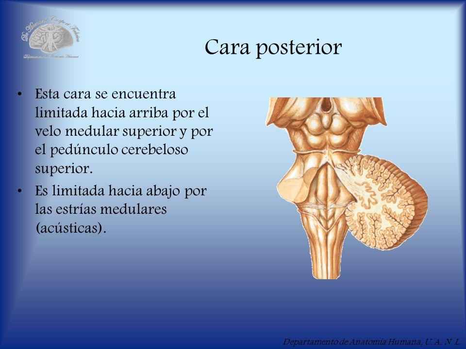 Cara posterior Esta cara se encuentra limitada hacia arriba por el velo medular superior y por el pedúnculo cerebeloso superior.