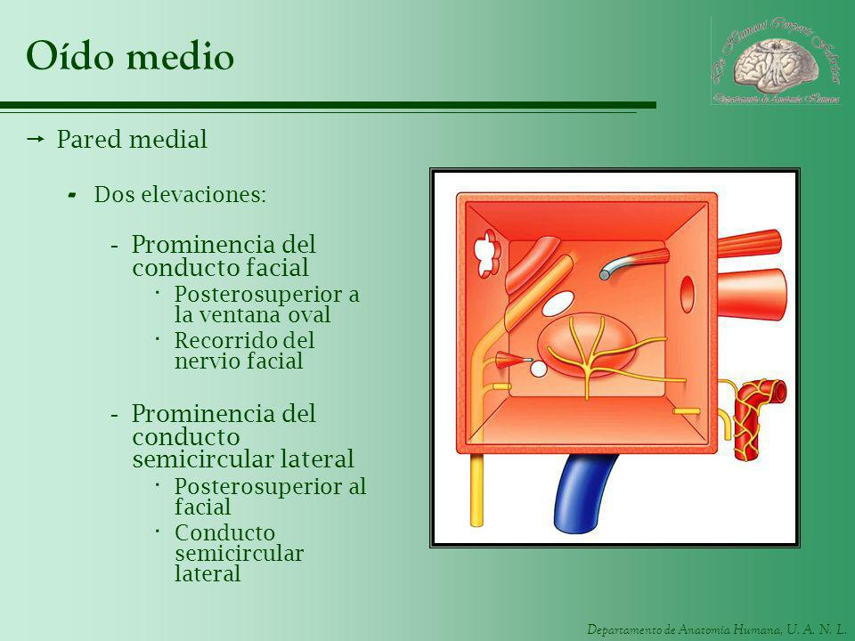 Oído medio Pared medial Prominencia del conducto facial