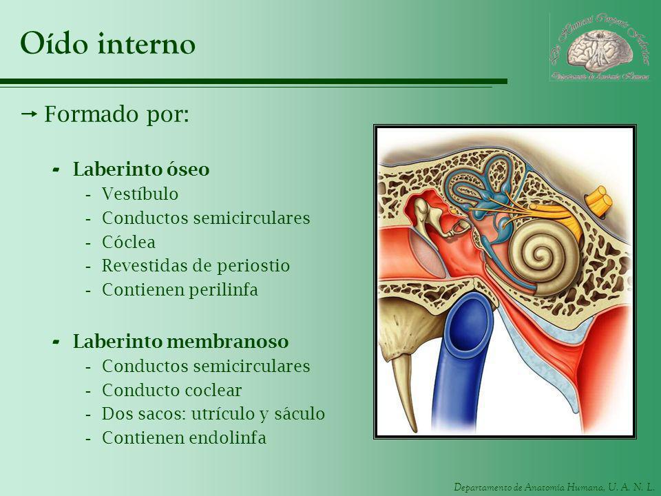 Oído interno Formado por: Laberinto óseo Laberinto membranoso