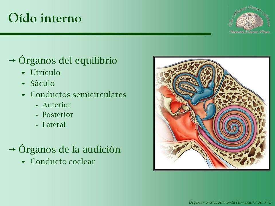 Oído interno Órganos del equilibrio Órganos de la audición Utrículo