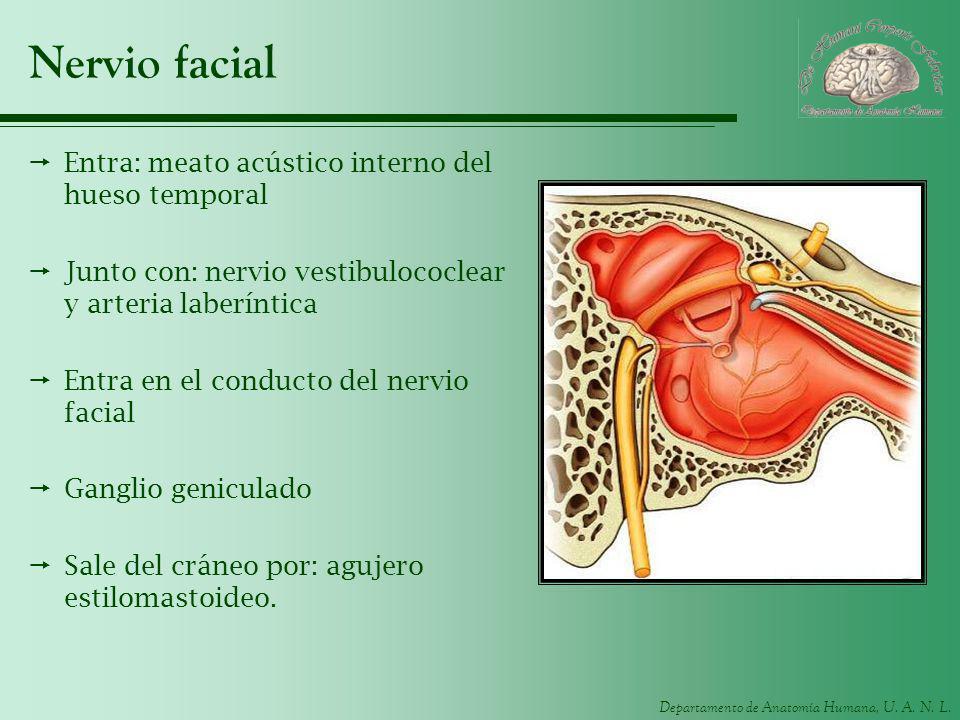 Nervio facial Entra: meato acústico interno del hueso temporal