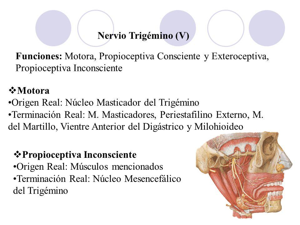 Nervio Trigémino (V)Funciones: Motora, Propioceptiva Consciente y Exteroceptiva, Propioceptiva Inconsciente.