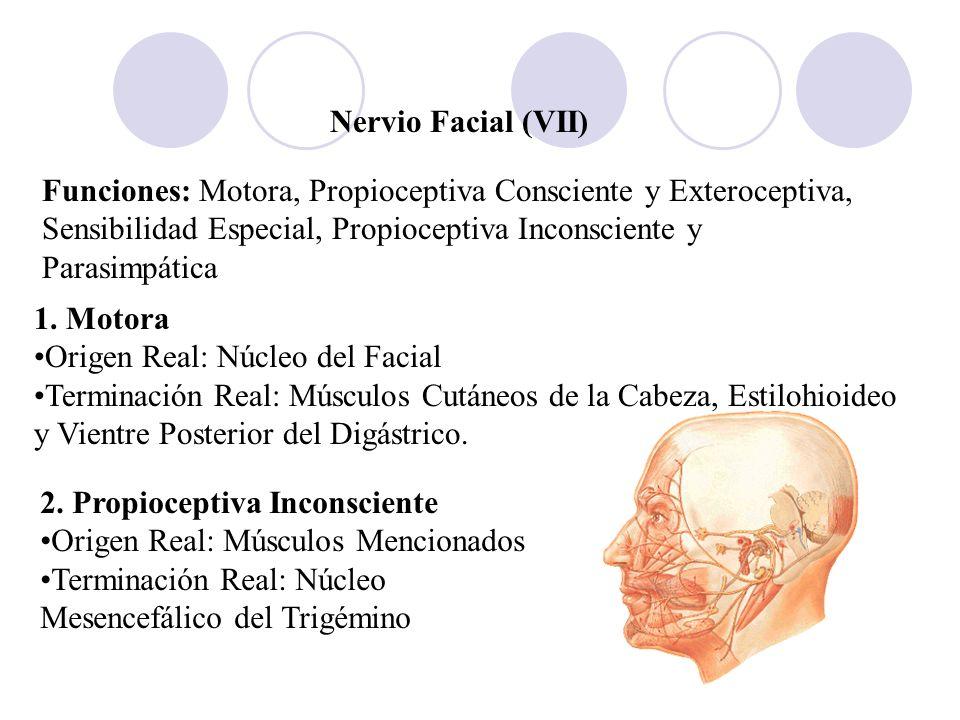 Nervio Facial (VII)Funciones: Motora, Propioceptiva Consciente y Exteroceptiva, Sensibilidad Especial, Propioceptiva Inconsciente y Parasimpática.
