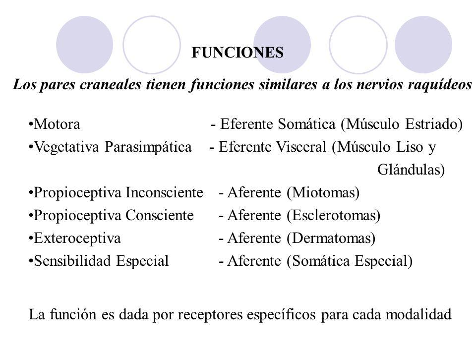 FUNCIONES Los pares craneales tienen funciones similares a los nervios raquídeos. Motora - Eferente Somática (Músculo Estriado)