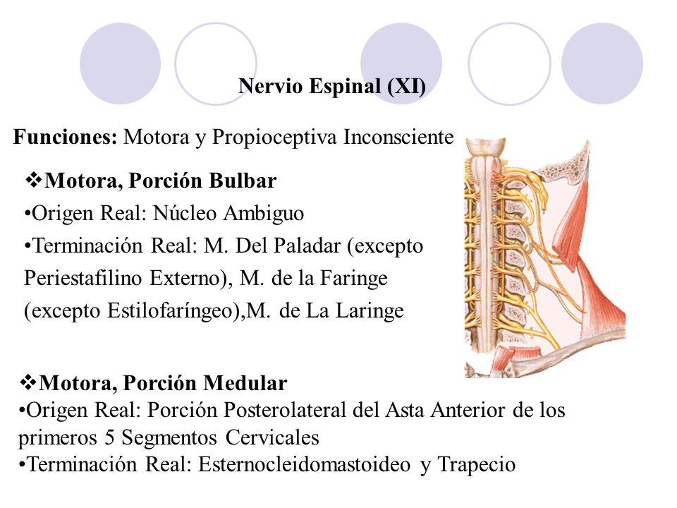 Nervio Espinal (XI)Funciones: Motora y Propioceptiva Inconsciente. Motora, Porción Bulbar. Origen Real: Núcleo Ambiguo.