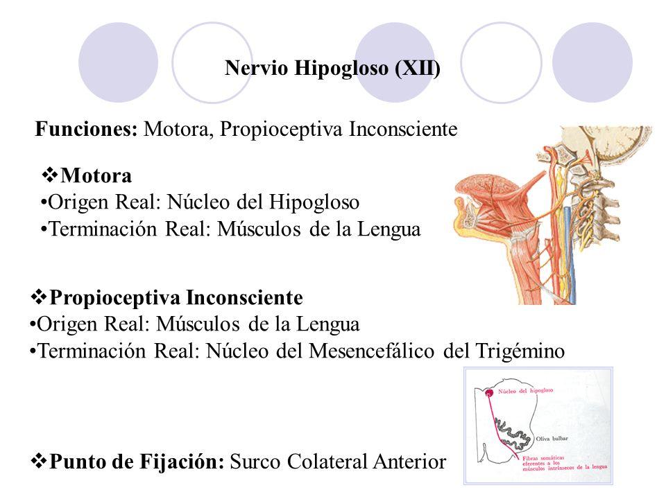 Nervio Hipogloso (XII)