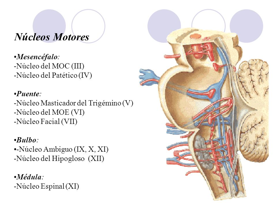 Núcleos Motores Mesencéfalo: -Núcleo del MOC (III)