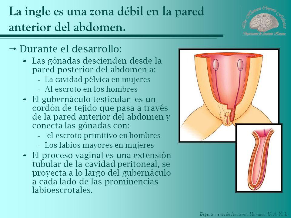 La ingle es una zona débil en la pared anterior del abdomen.
