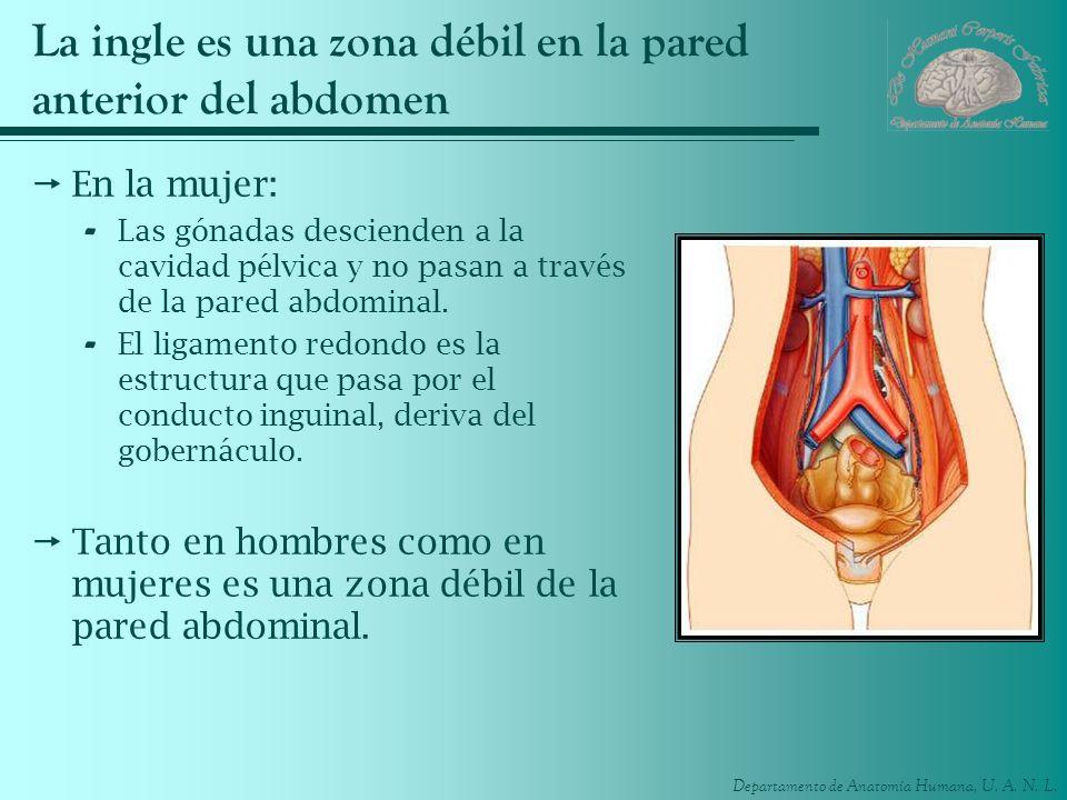 La ingle es una zona débil en la pared anterior del abdomen