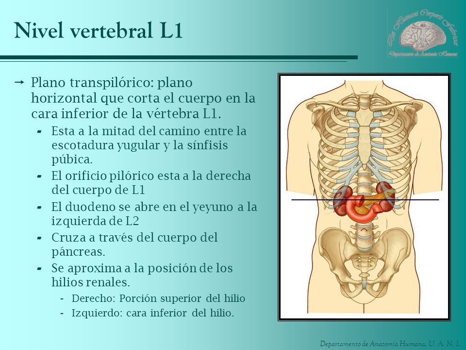 Nivel vertebral L1 Plano transpilórico: plano horizontal que corta el cuerpo en la cara inferior de la vértebra L1.