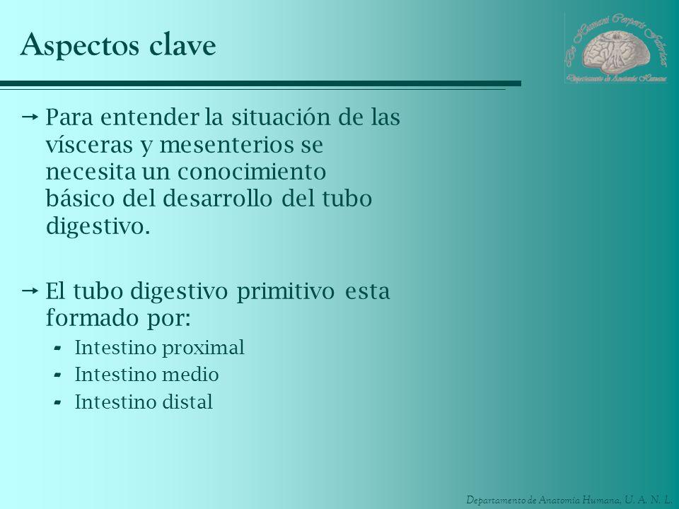 Aspectos clave Para entender la situación de las vísceras y mesenterios se necesita un conocimiento básico del desarrollo del tubo digestivo.