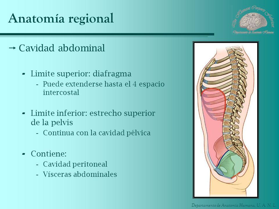 Anatomía regional Cavidad abdominal Limite superior: diafragma
