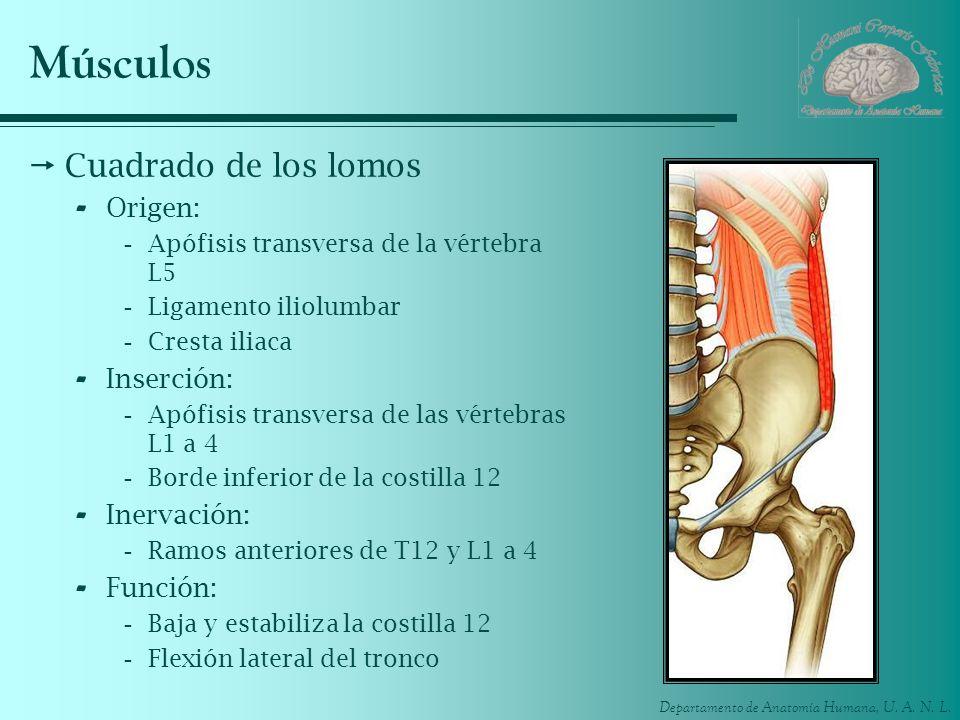 Músculos Cuadrado de los lomos Origen: Inserción: Inervación: Función: