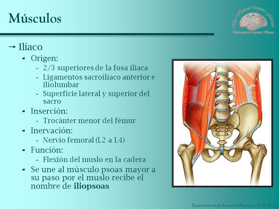 Músculos Ilíaco Origen: Inserción: Inervación: Función: