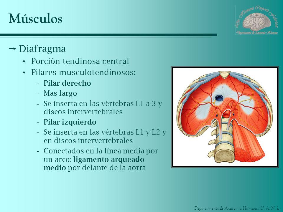 Músculos Diafragma Porción tendinosa central