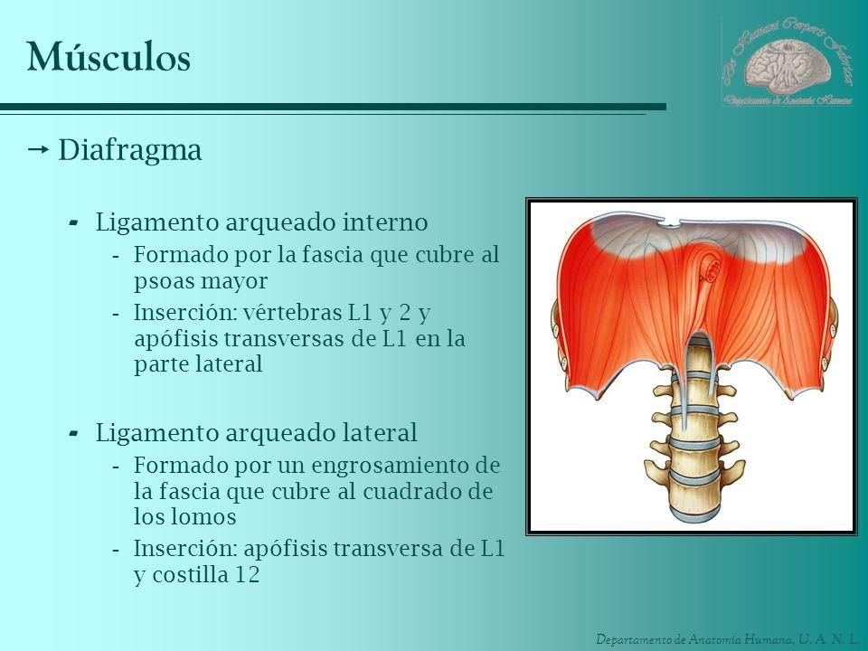 Músculos Diafragma Ligamento arqueado interno