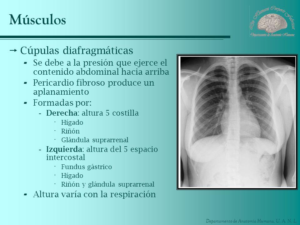 Músculos Cúpulas diafragmáticas