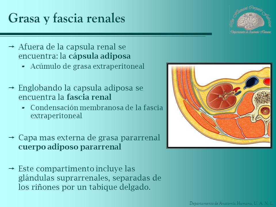 Grasa y fascia renalesAfuera de la capsula renal se encuentra: la cápsula adiposa. Acúmulo de grasa extraperitoneal.