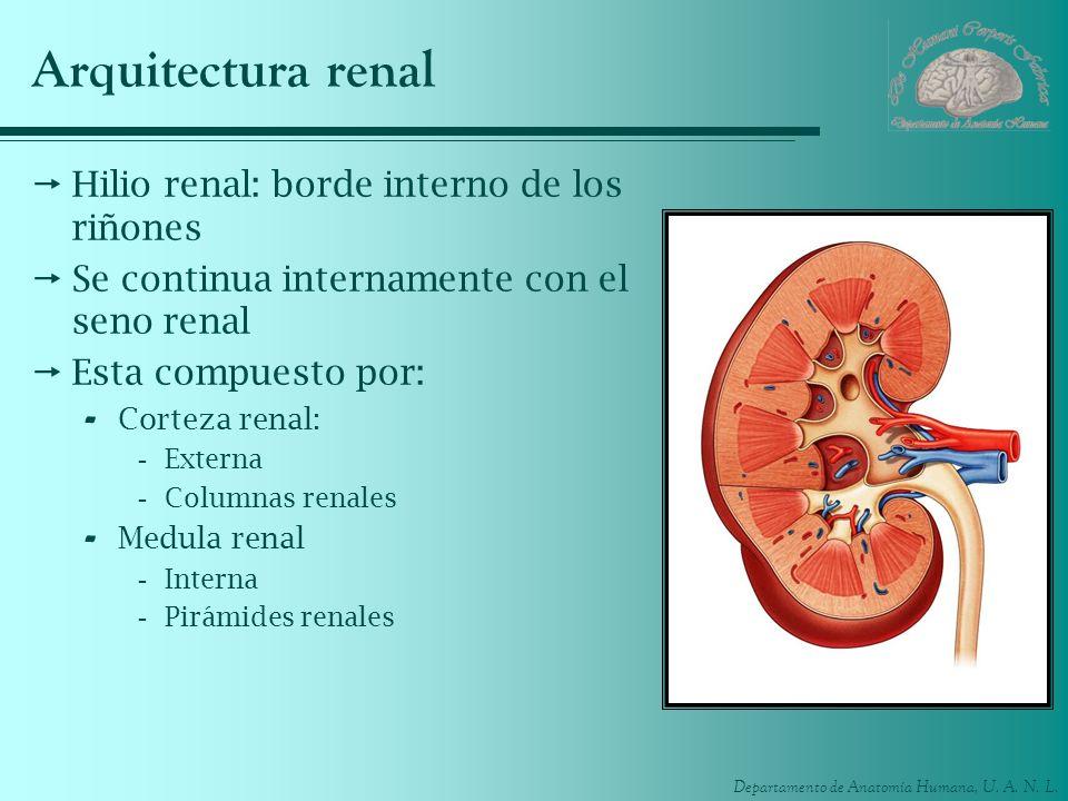 Arquitectura renal Hilio renal: borde interno de los riñones