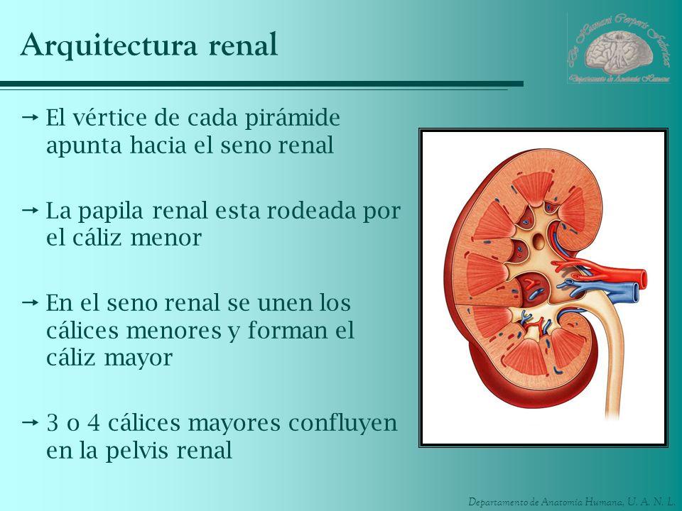 Arquitectura renalEl vértice de cada pirámide apunta hacia el seno renal. La papila renal esta rodeada por el cáliz menor.