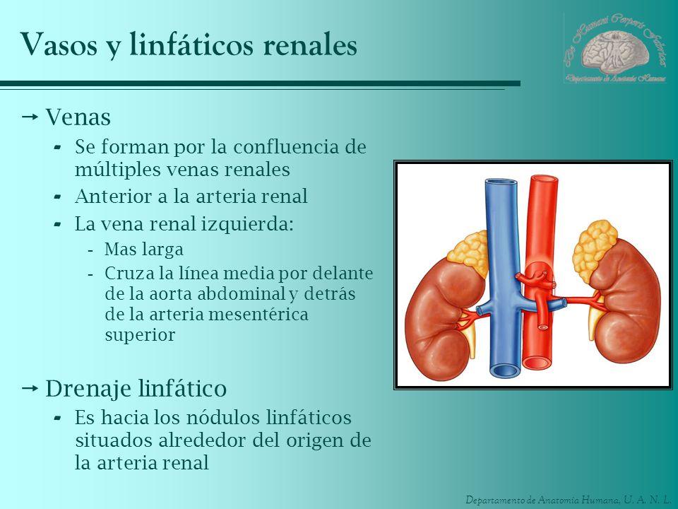Vasos y linfáticos renales
