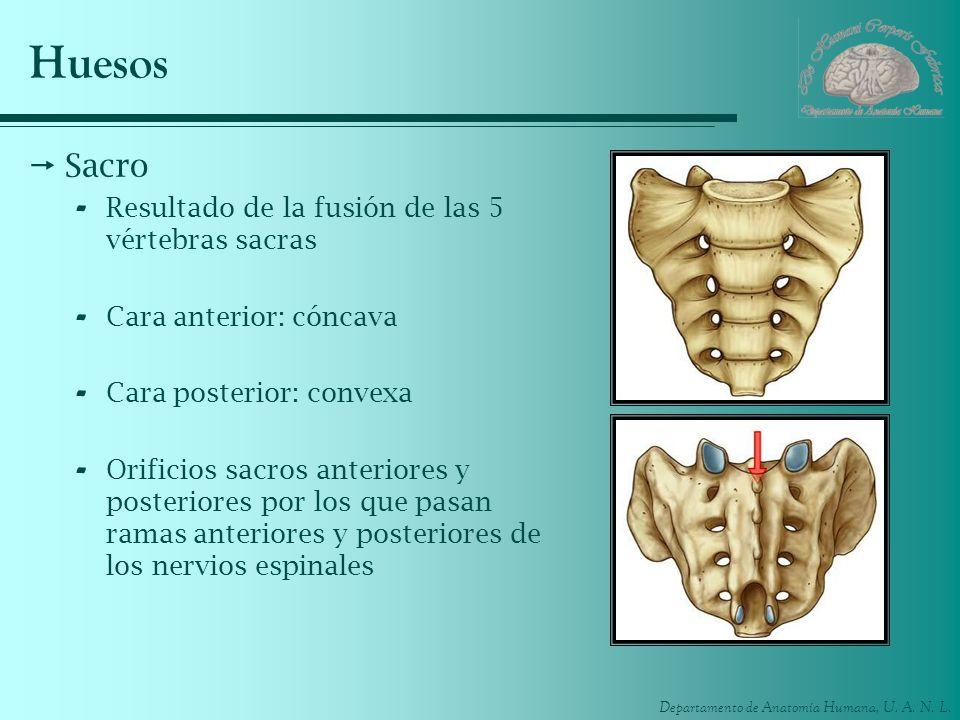 Huesos Sacro Resultado de la fusión de las 5 vértebras sacras