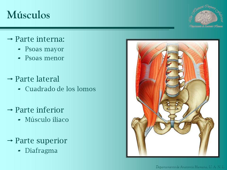 Músculos Parte interna: Parte lateral Parte inferior Parte superior