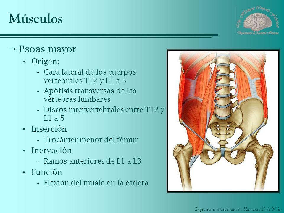 Músculos Psoas mayor Origen: Inserción Inervación Función