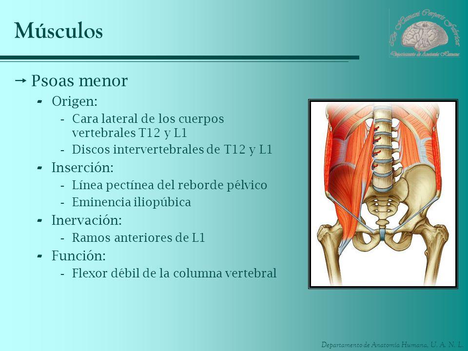 Músculos Psoas menor Origen: Inserción: Inervación: Función: