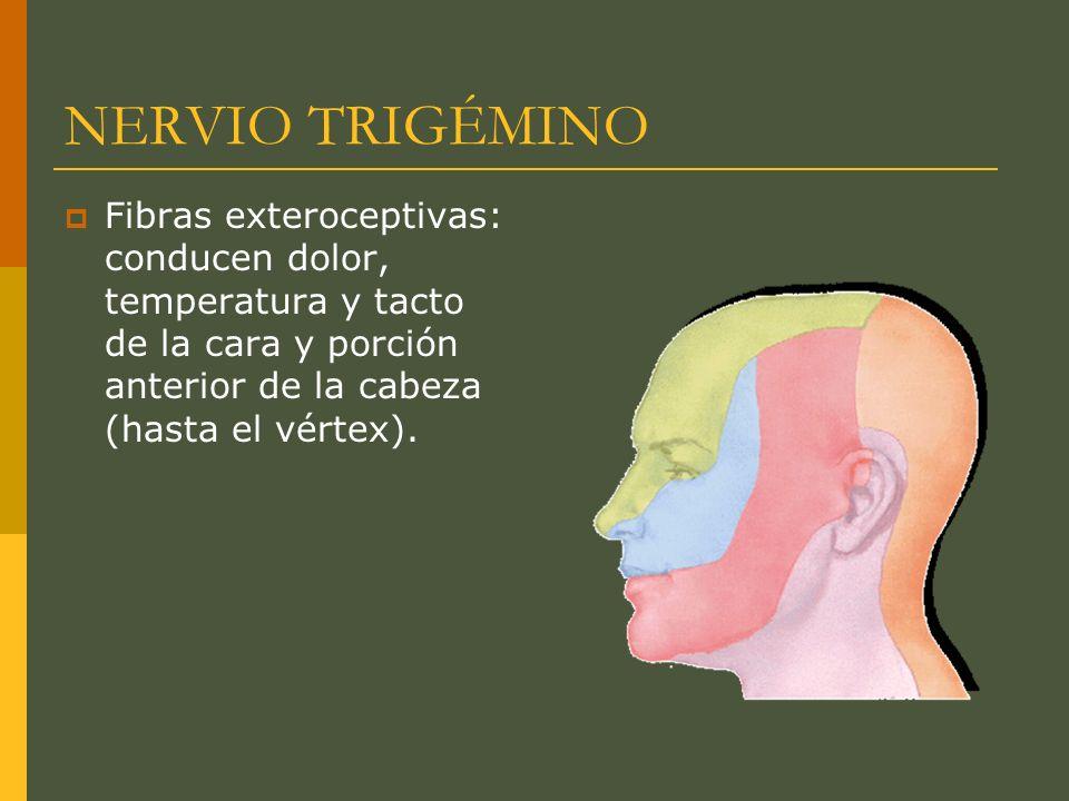 NERVIO TRIGÉMINOFibras exteroceptivas: conducen dolor, temperatura y tacto de la cara y porción anterior de la cabeza (hasta el vértex).
