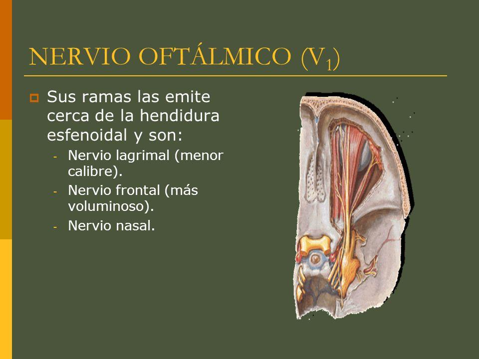 NERVIO OFTÁLMICO (V1) Sus ramas las emite cerca de la hendidura esfenoidal y son: Nervio lagrimal (menor calibre).