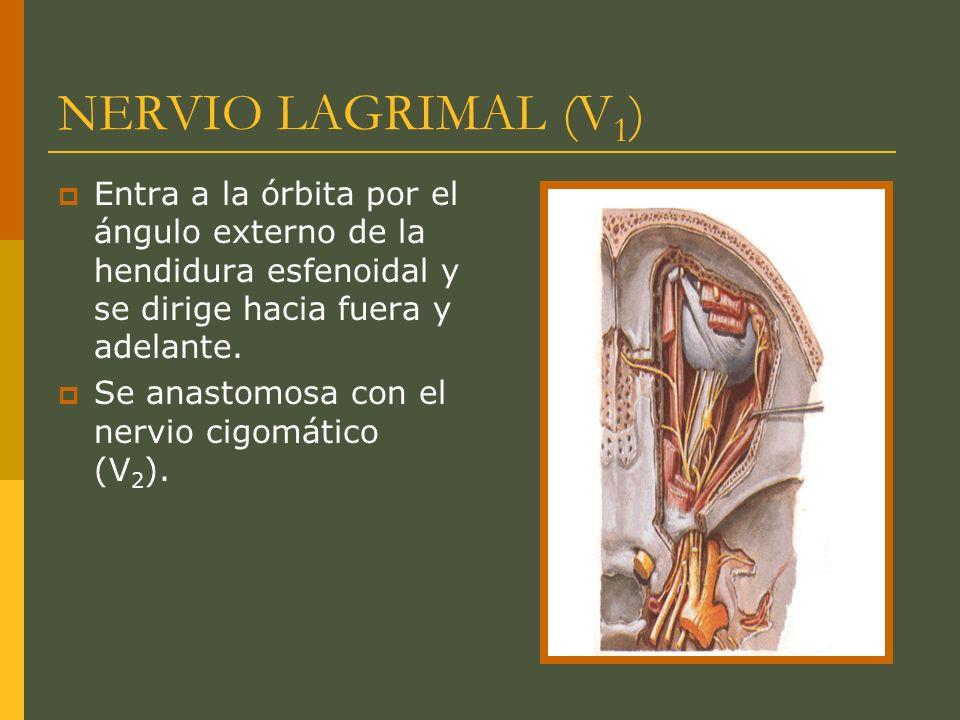 NERVIO LAGRIMAL (V1) Entra a la órbita por el ángulo externo de la hendidura esfenoidal y se dirige hacia fuera y adelante.