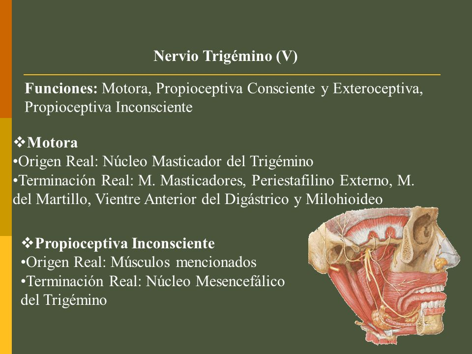 Nervio Trigémino (V) Funciones: Motora, Propioceptiva Consciente y Exteroceptiva, Propioceptiva Inconsciente.