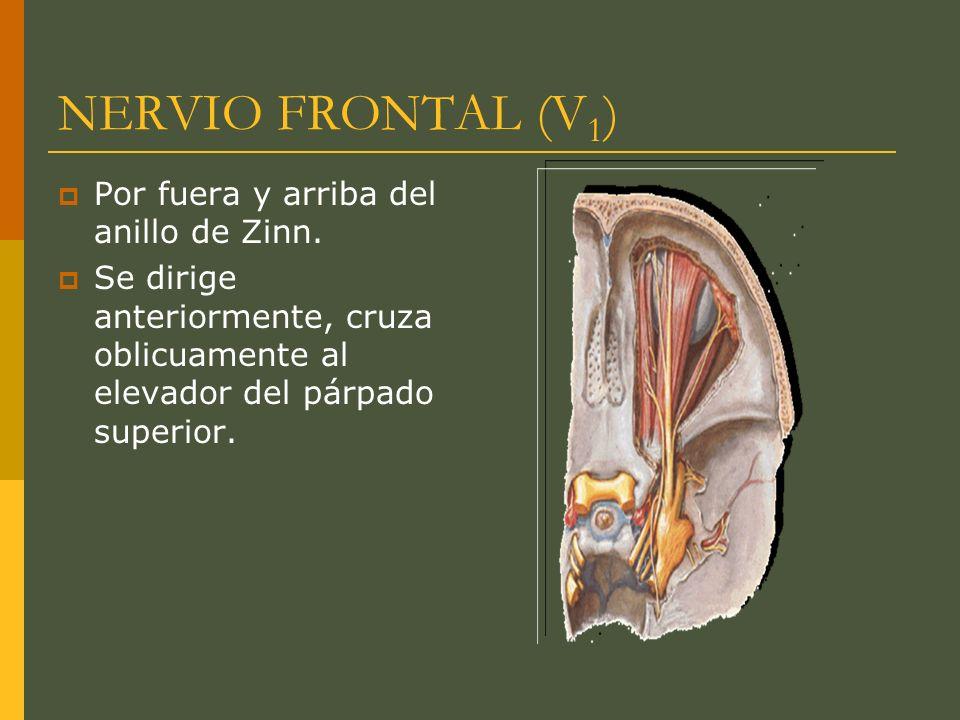 NERVIO FRONTAL (V1) Por fuera y arriba del anillo de Zinn.