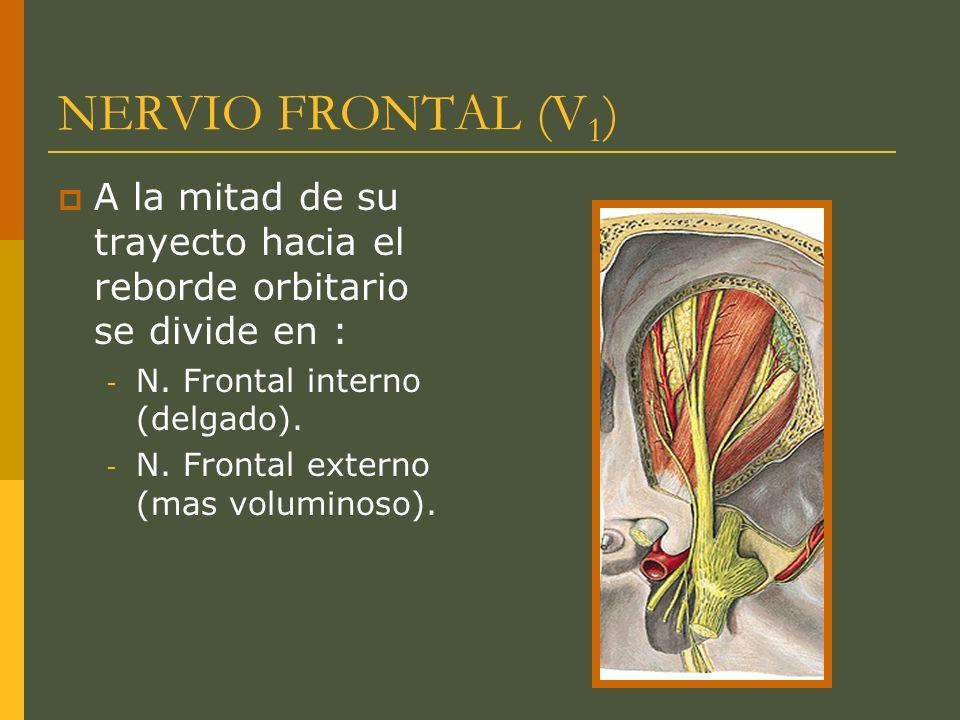 NERVIO FRONTAL (V1)A la mitad de su trayecto hacia el reborde orbitario se divide en : N. Frontal interno (delgado).