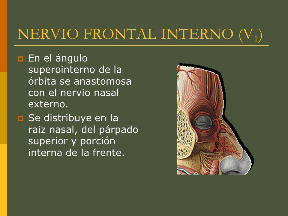 NERVIO FRONTAL INTERNO (V1)