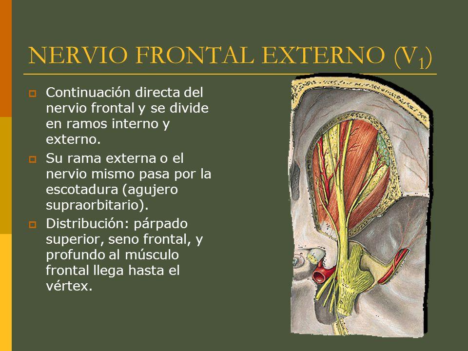 NERVIO FRONTAL EXTERNO (V1)