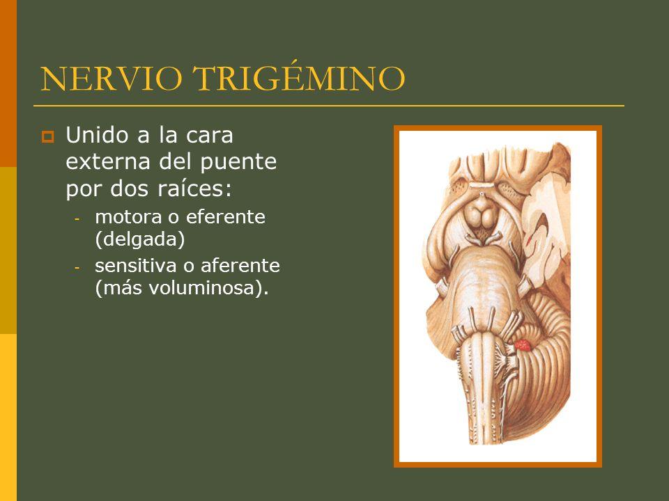 NERVIO TRIGÉMINO Unido a la cara externa del puente por dos raíces: