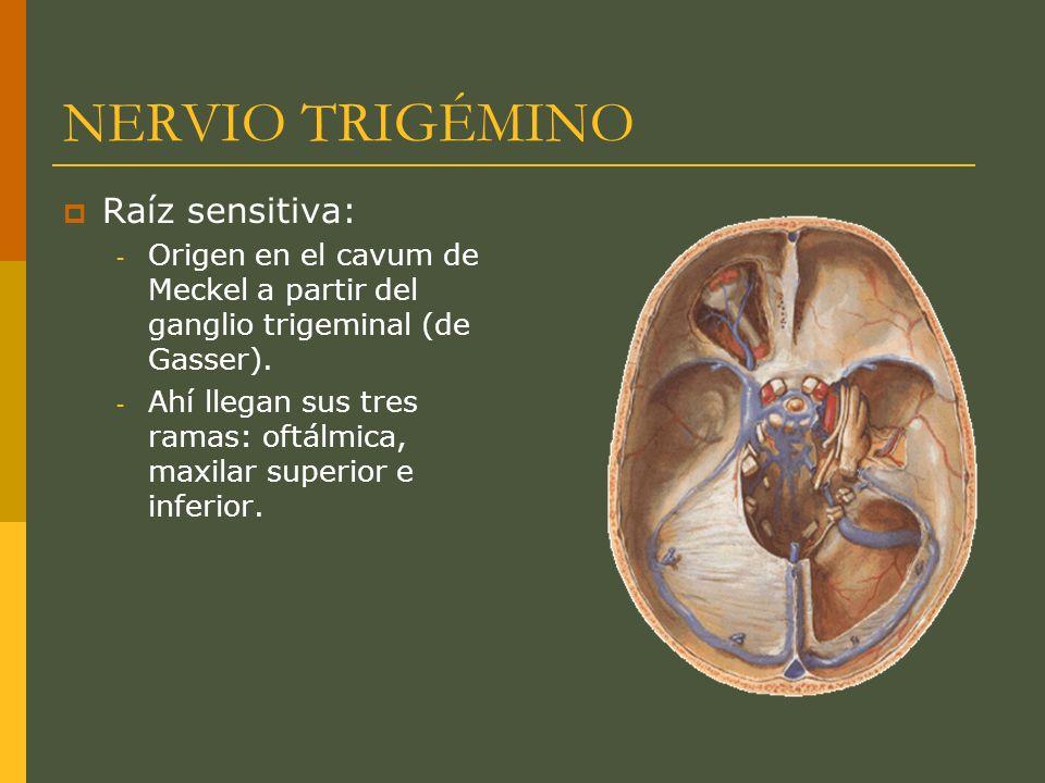 NERVIO TRIGÉMINO Raíz sensitiva: