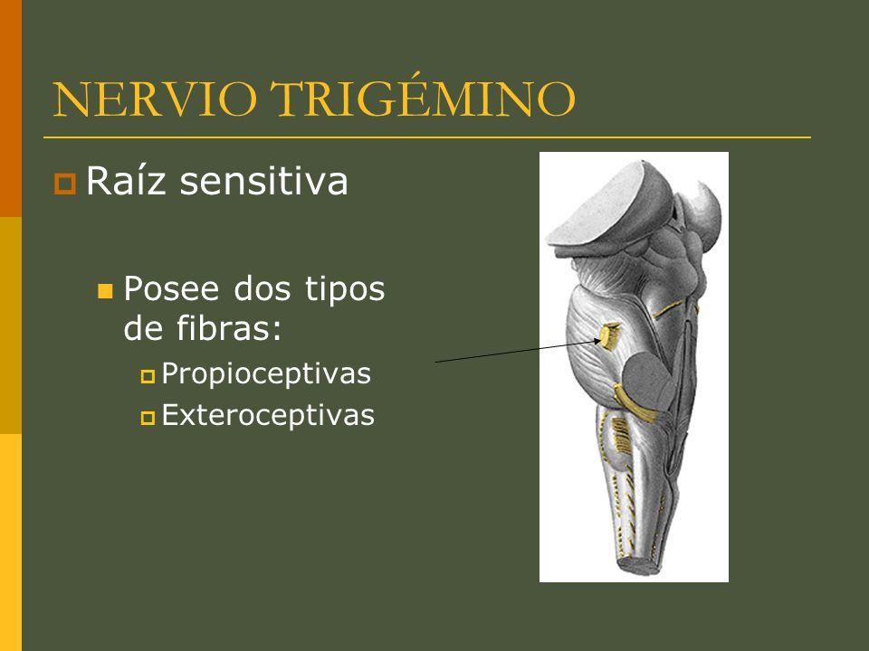 NERVIO TRIGÉMINO Raíz sensitiva Posee dos tipos de fibras: