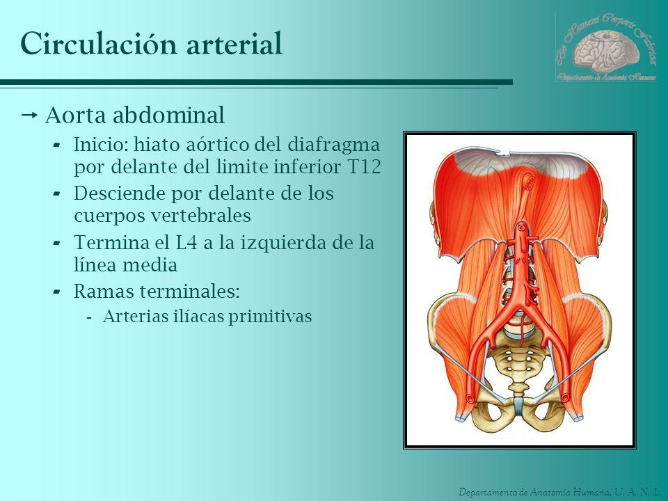 Circulación arterial Aorta abdominal