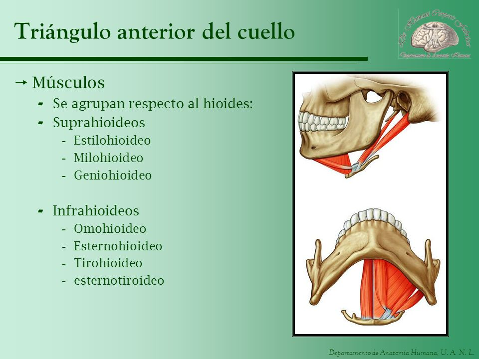 Triángulo anterior del cuello