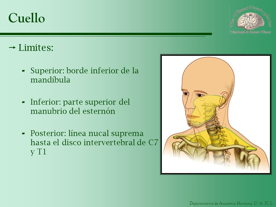 Cuello Limites: Superior: borde inferior de la mandíbula