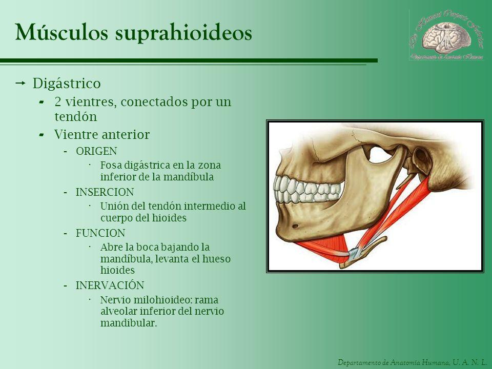 Músculos suprahioideos