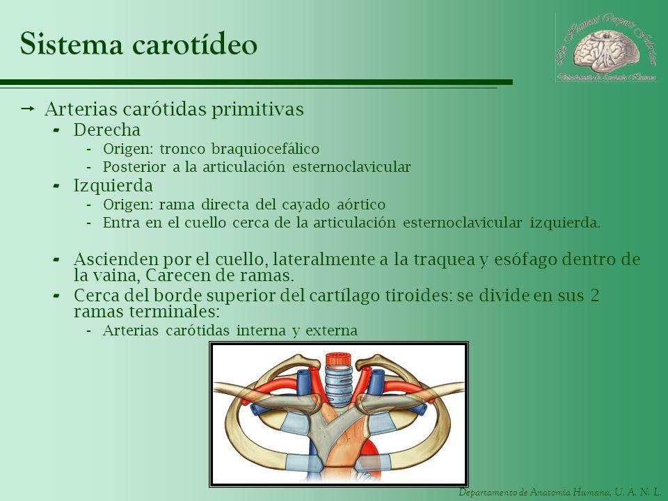 Sistema carotídeo Arterias carótidas primitivas Derecha Izquierda